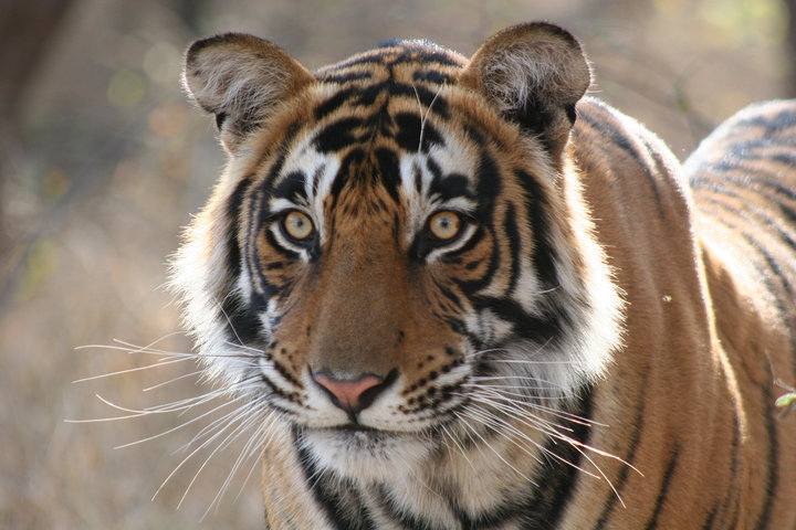 Ranthambore Wildlife Tour Packages