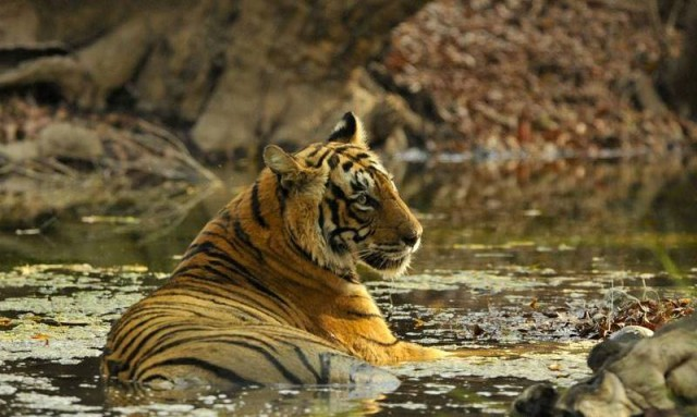 Tigress T-19 sighted with four newborn cubs in Ranthambore National Park