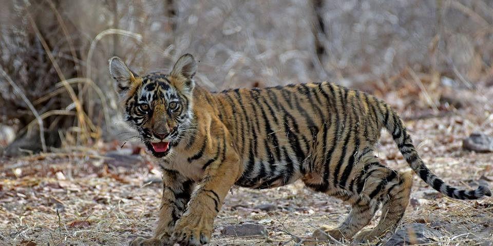 tiger-cub ranthambore