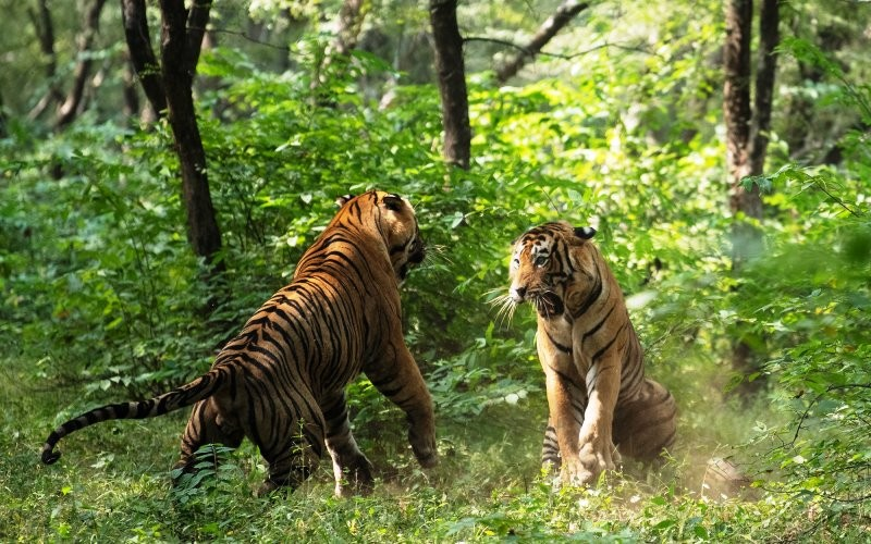 tiger-fight-photo-in-RNP