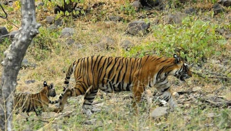 Tigress-T-39-with-cubs-Ranthambore