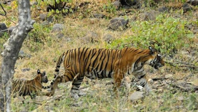 Tigress T-39 spotted with three cubs in Ranthambore