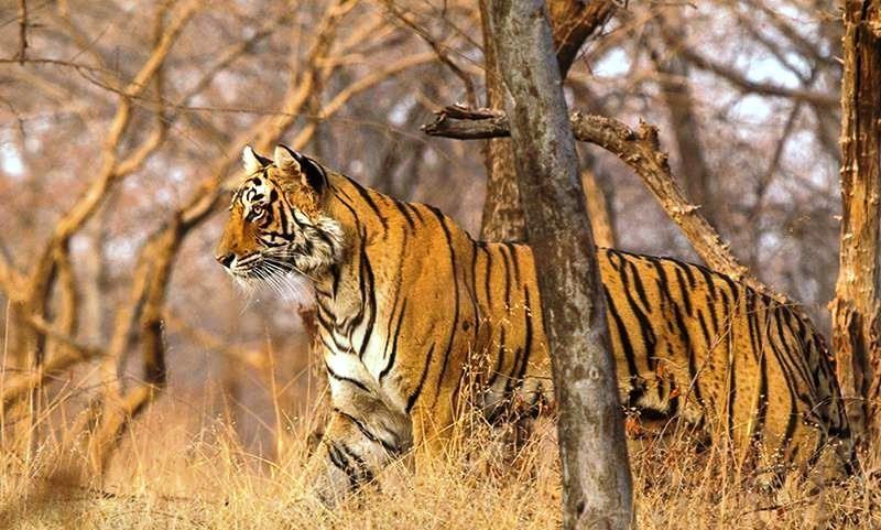 Tigress Lightning T 83 Ranthambore