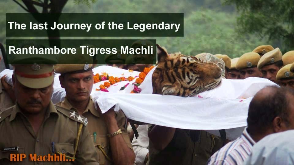 Machhli-died-in-Ranthambore