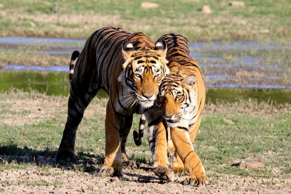Ranthambore-National-Park-re-opens-on-Oct-1