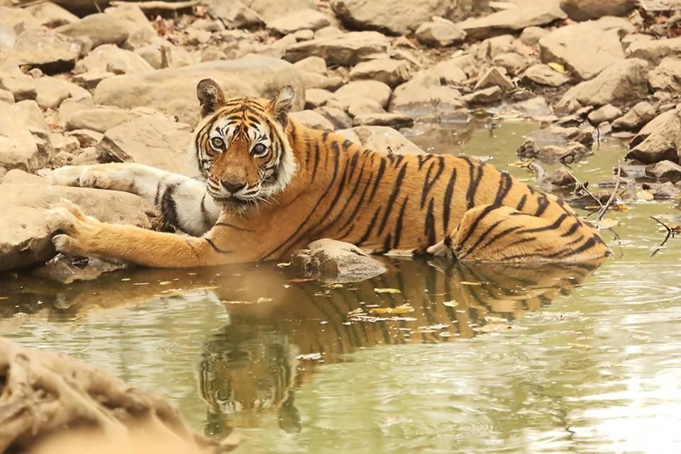 New-Incarnation-of-Tigress-Machli-in-Ranthambore-National-Park