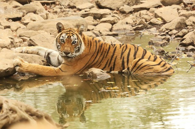 New Incarnation of Tigress Machli in Ranthambore National Park