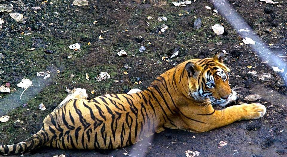 t-24-killed-a-forest-guard-ranthambore