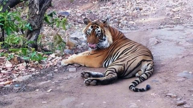 Rowdy Ranthambore (T-24) Condition: Happenings in Ranthambore National Park