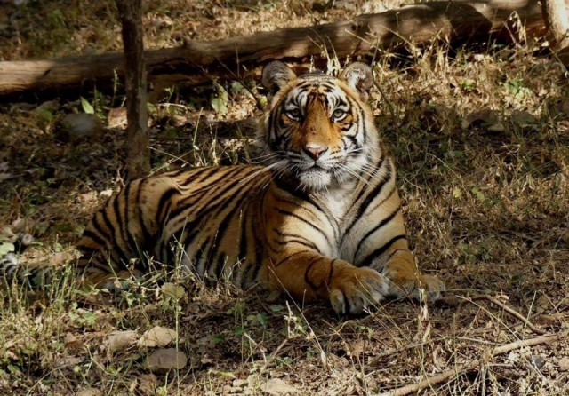 In Ranthambore, the tigress T 107 ran behind tourist vehicles, shifted the safaris to other zones