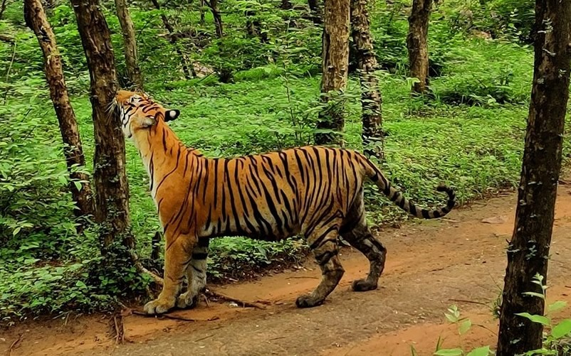 Tigress T 8 in Ranthambhore