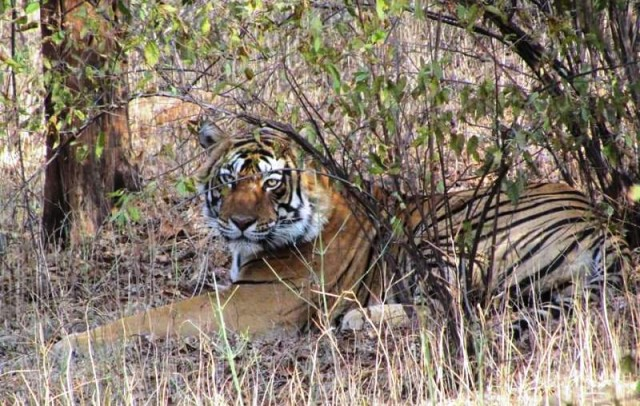 The less area for tigers in Ranthambore caused trouble, the tigers of Ranthambore searching for new homes