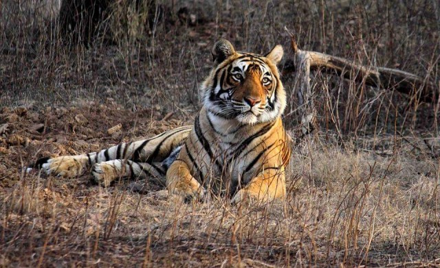 A private organization working for tiger conservation claimed: Ranthambore has only 62 tigers, not 71