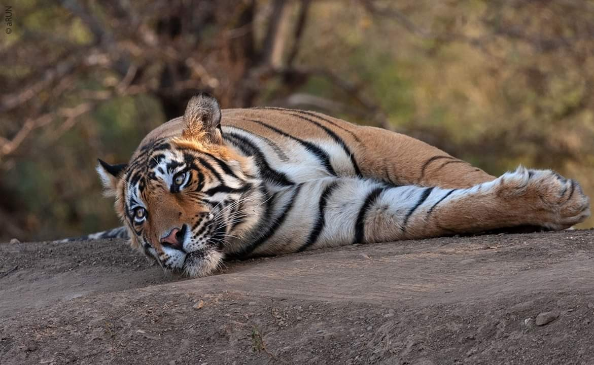 Tiger-T-109-Died-in-Ranthambore