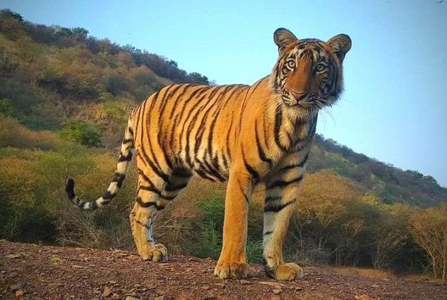 Capacity of 50 Tigers but 71 Tigers are living in Ranthambore National Park