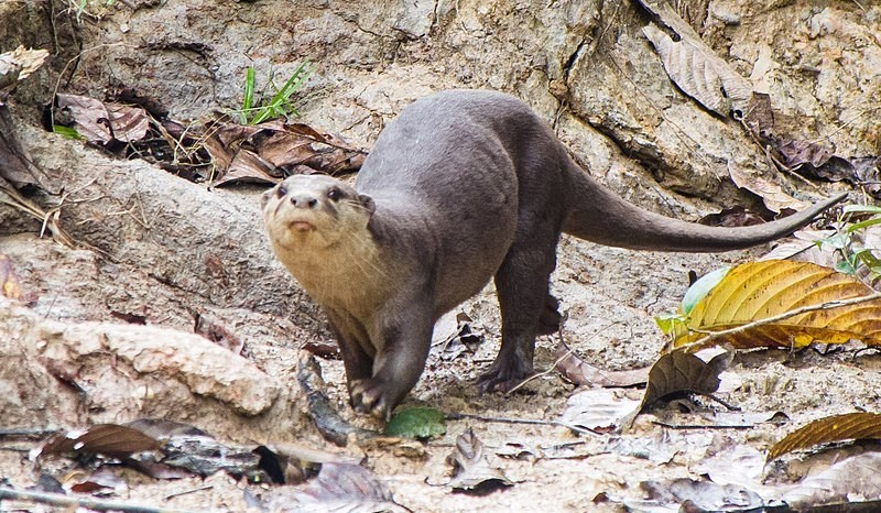 otter-in-Ranthambore