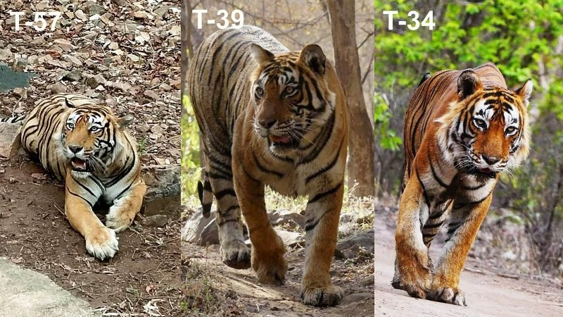 Ranthambore-tiger-fight-story