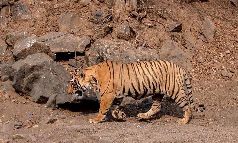Tiger-T-98-Ranthmbore