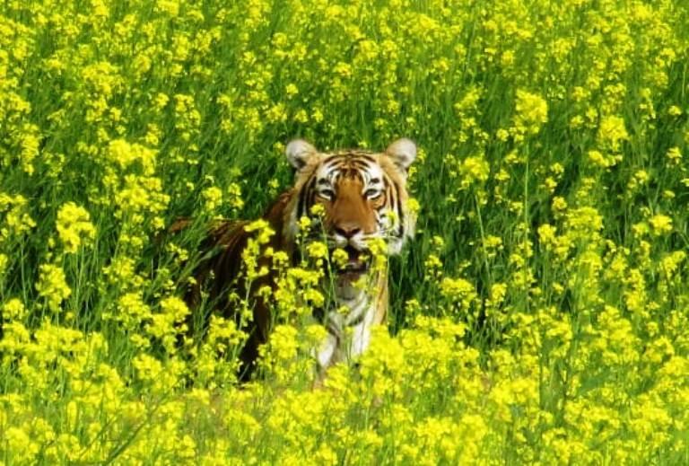 Tiger T 104 Ranthambore
