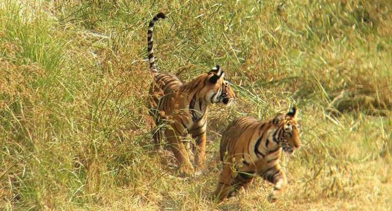Tigers-in-Rathambore
