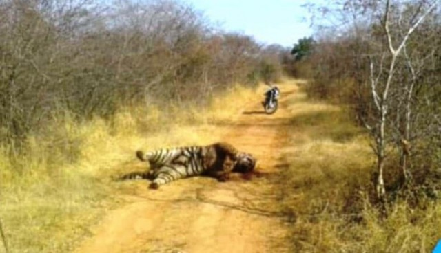 Tiger T-85 aka Pacman Dies in Ranthambore National Park