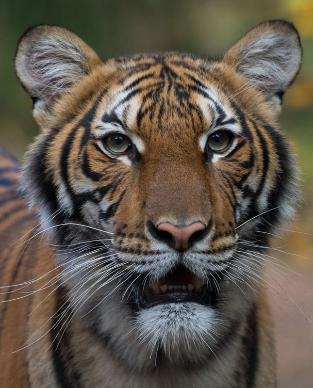 Coronavirus: A Tiger testing positive for Covid-19 at the Bronx Zoo in New York, US.