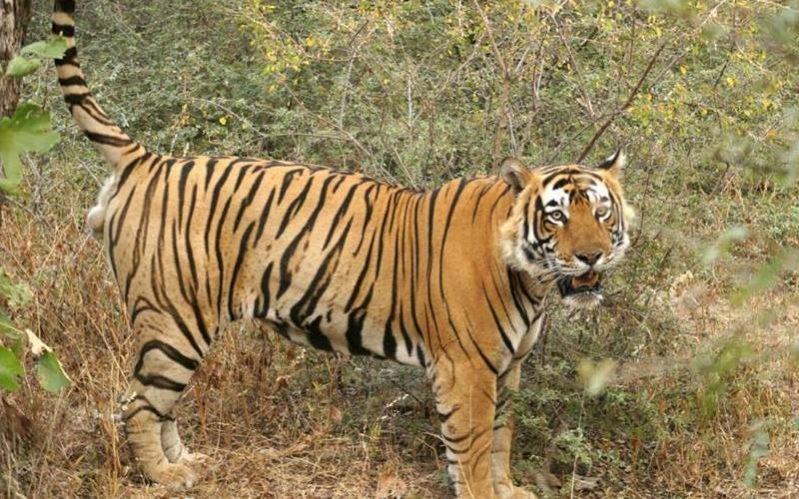 Ranthambore-tiger-e1536345681513