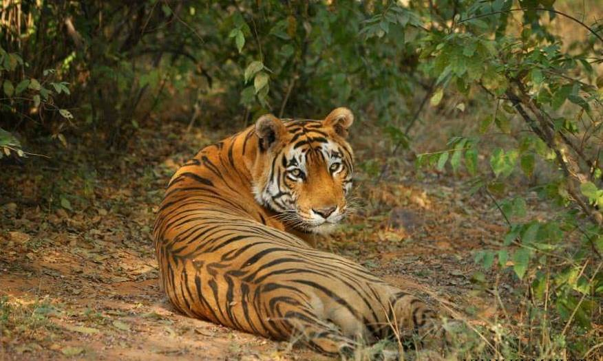 Star male tiger t 28 ranthambore
