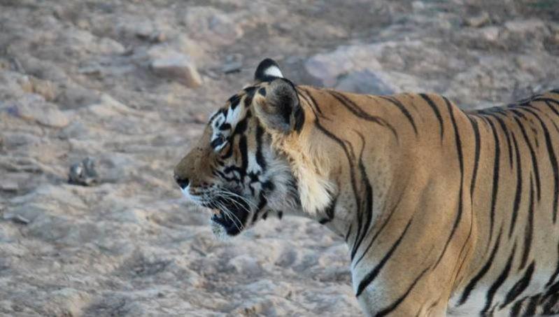 tigress-T-84