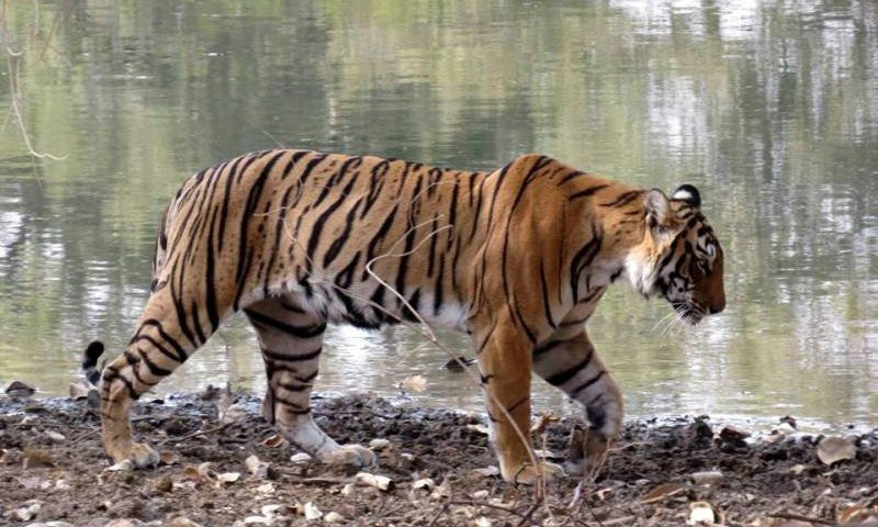 tiger-census-ranthambore