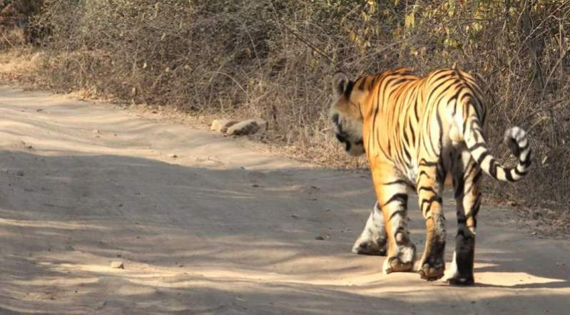 tiger-footprint-in-Ranthambore