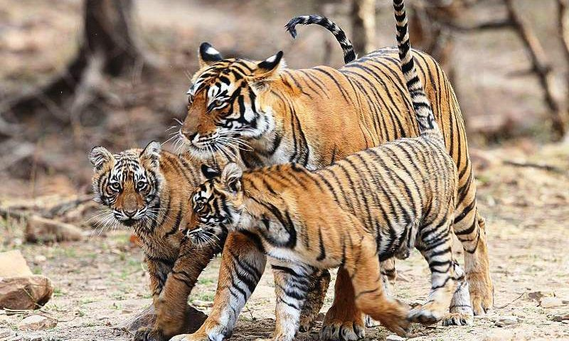 Ranthambhore-Tiger-Breeding-Junction
